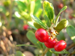 bearberry_(arctostaphylos_uva-ursi)4